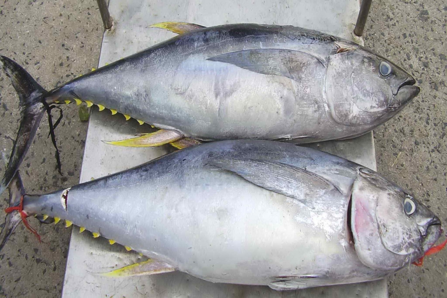 Cá Ngừ Đại Dương Phi Lê ( Hải Sản Lý Sơn - Đặc Sản Quảng Ngãi)
